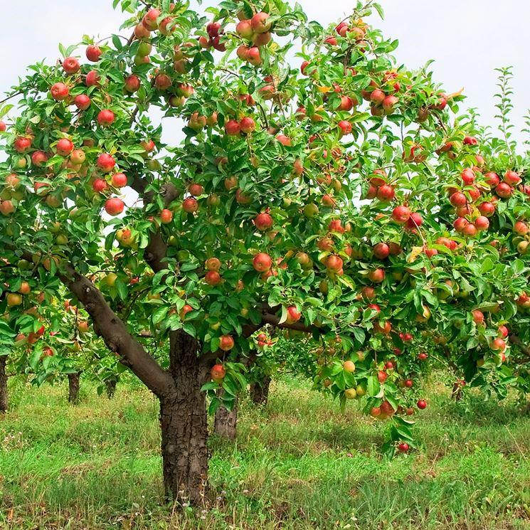 Un melo rigoglioso ben potato