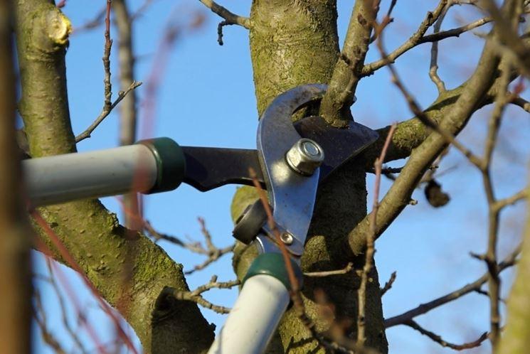 Potare albero frutto