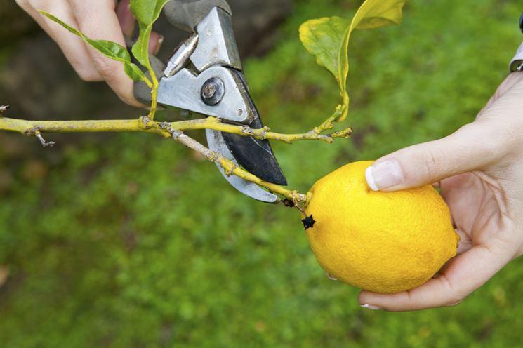Potatura limone vaso