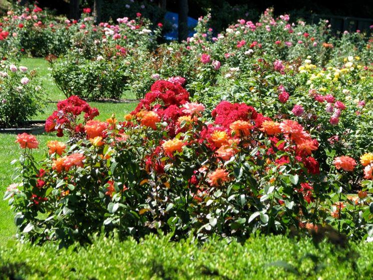Aiuole di rose