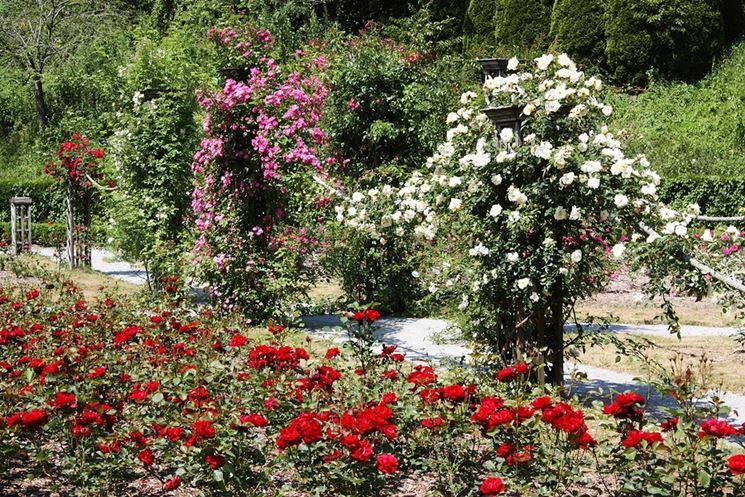 Arbusti di rose dai vari colori